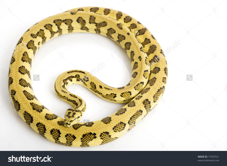 Jungle Jaguar Carpet Python Morelia Spilota Stock Photo 17597521.