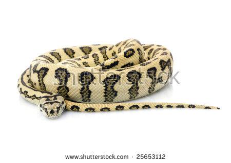 Jaguar Carpet Snake (Morelia Spilota Variegata) Stock Photo.