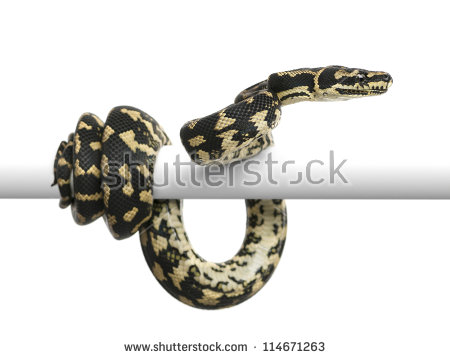 Jungle Carpet Python Stock Photos, Royalty.