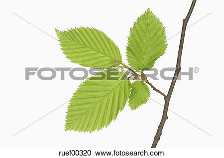 Stock Photography of Hornbeam leaves (Carpinus betulus), close.