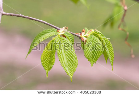 Carpinus Betulus Stock Photos, Royalty.