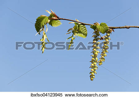 Stock Image of European Hornbeam (Carpinus betulus), female.