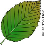 Carpinus betulus Stock Illustration Images. 10 Carpinus betulus.