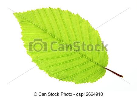 Stock Photography of Hornbeam (Carpinus betulus).
