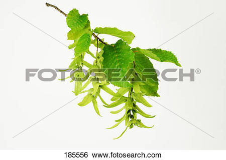 Stock Images of Common Hornbeam, European Hornbeam (Carpinus.