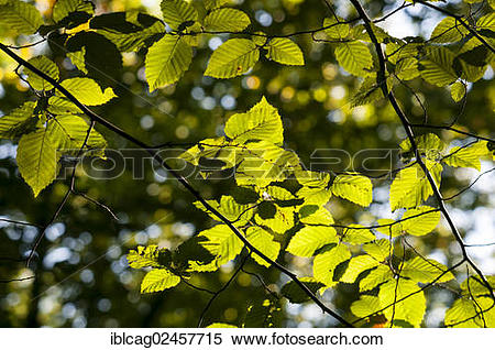 "Stock Image of ""Leaves of a Hornbeam (Carpinus betulus), with."