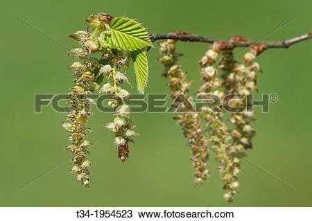 Stock Photo of Leaves and Catkins of European Hornbeam, Carpinus.