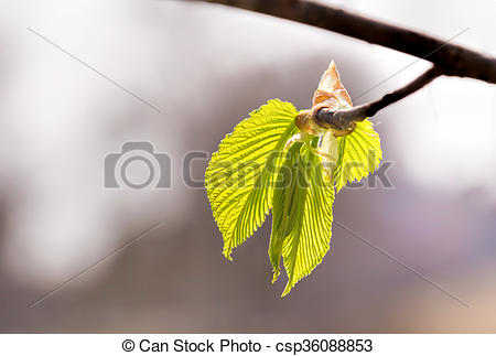 Stock Images of Carpinus Betulus Leaves.