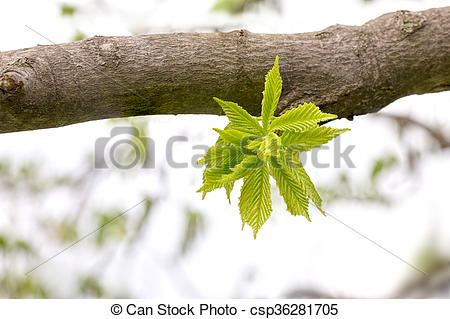 Stock Photography of Carpinus Betulus Leaves.