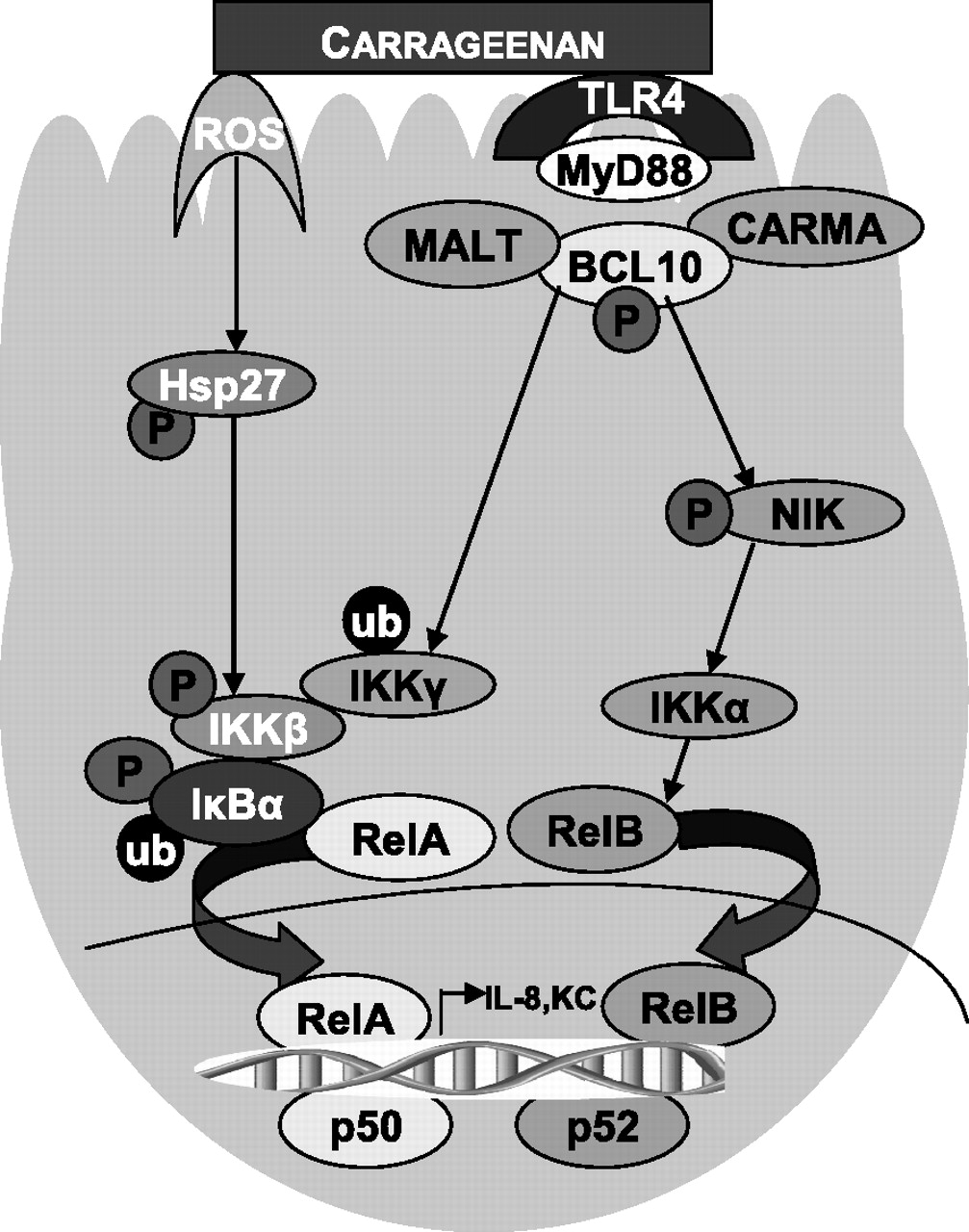 Specific effects of BCL10 Serine mutations on phosphorylations in.
