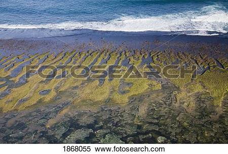Stock Image of carrageenan seaweed harvesting, bukit peninsula.