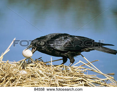 Pictures of Carrion Crow stealing egg / Corvus corone 84558.