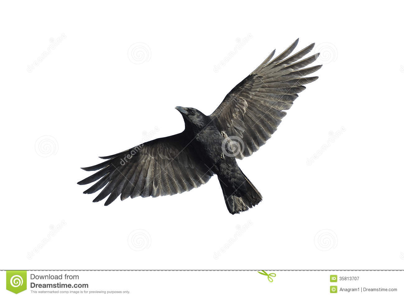 Carrion Crow In Flight Royalty Free Stock Photography.