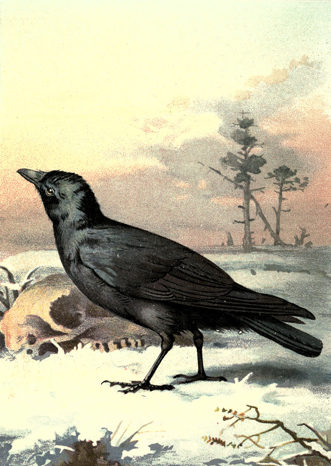 Vintage Carrion Crow Clipart Image.