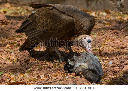 Carrion Eater Stock Photos, Royalty.