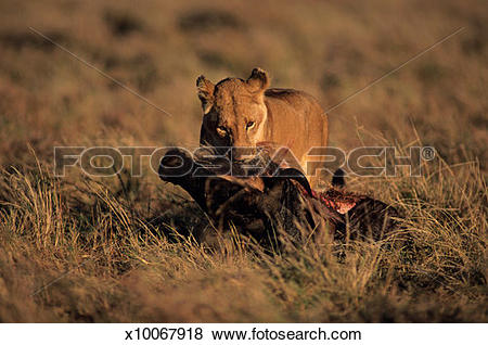 Pictures of Lioness (Panthera leo), eating carrion on grass.