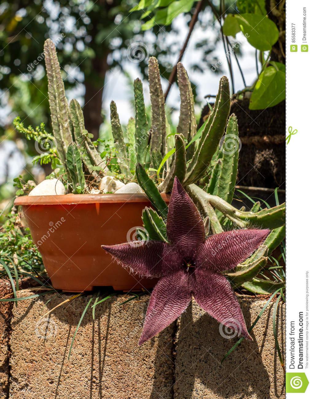 Stapelia Hirsuta, In Brazil. Common Name Starfish Flower Or.