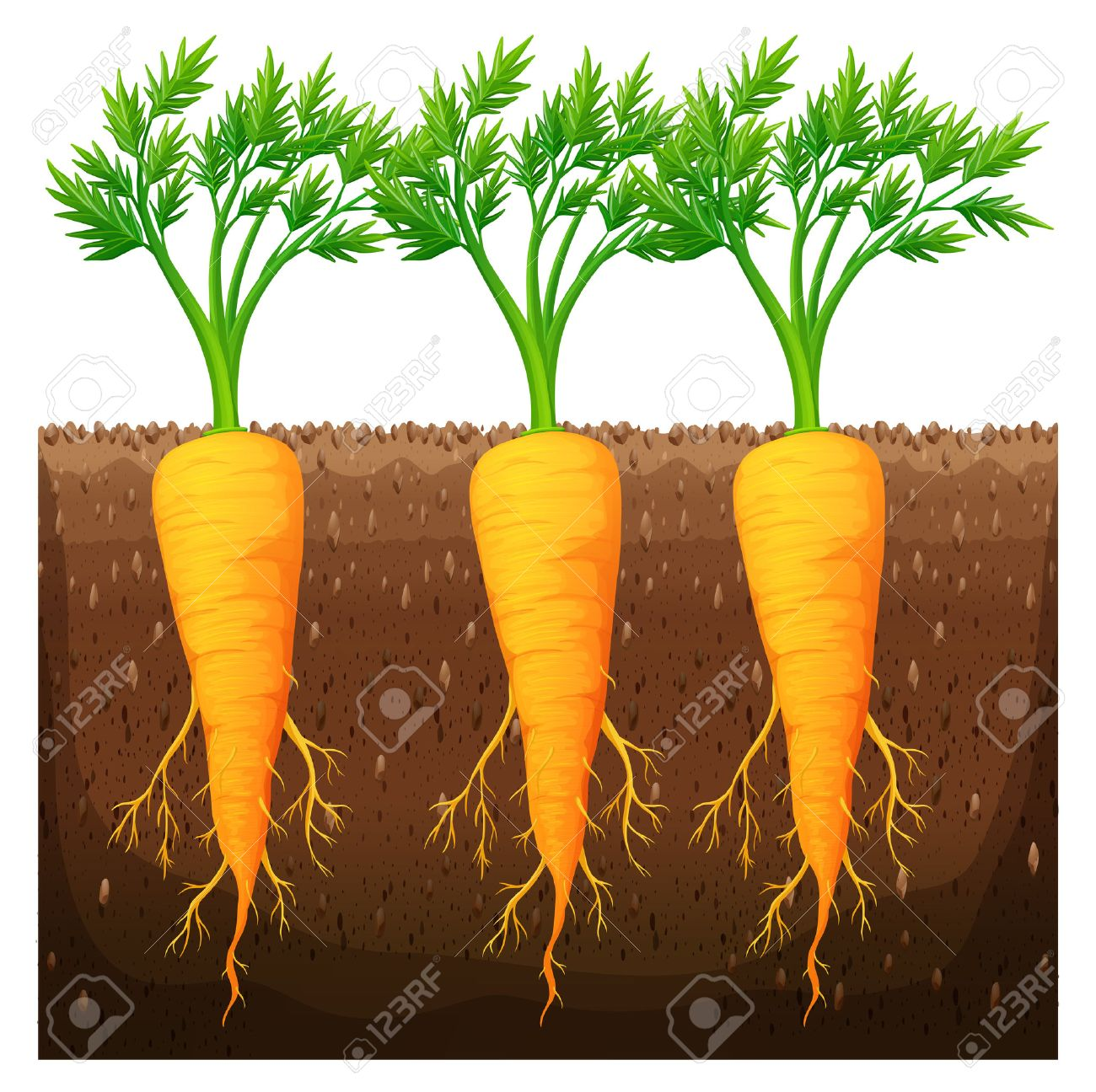Fresh carrot growing in the field illustration.