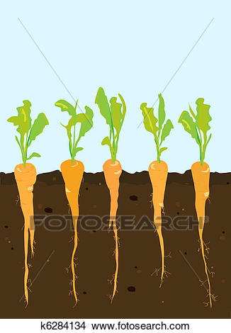 Carrots growing Clipart.