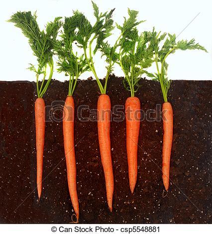 Carrots growing in soil.