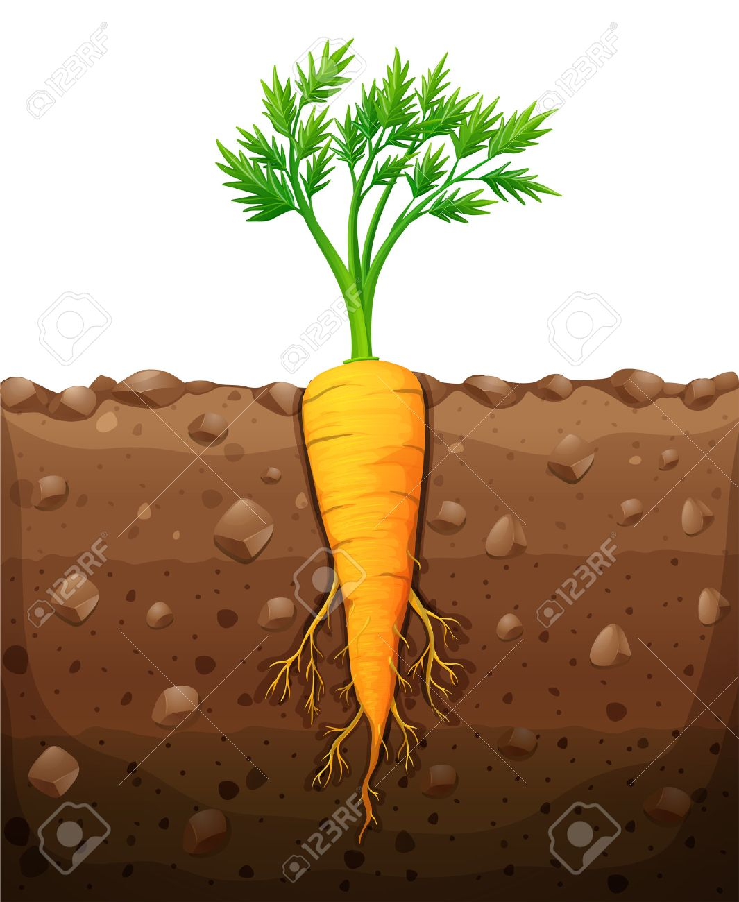 Carrot with root underground illustration.