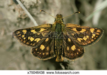 Pictures of chequered skipper butterfly, carterocephalus palaemon.