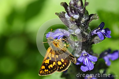 Arctic Skipper (Carterocephalus Palaemon) Stock Photo.