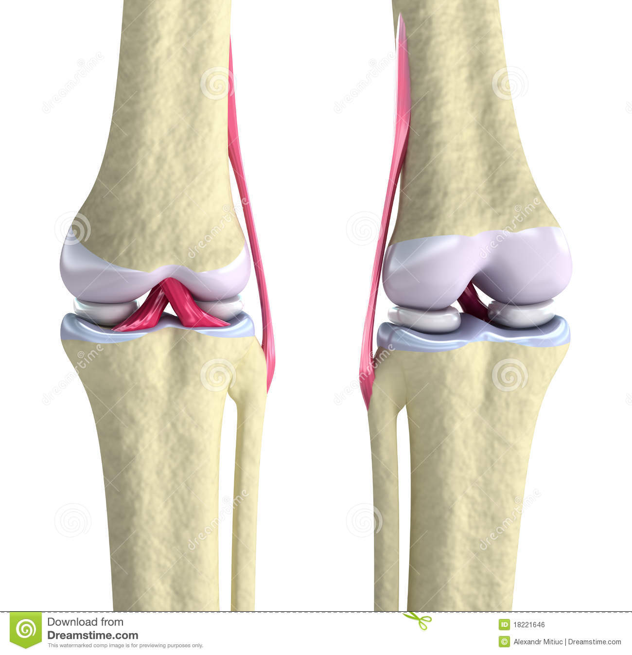 Knee Joint With Ligaments And Cartilages Royalty Free Stock Image.