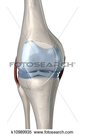 Stock Illustration of Human knee anterior view with visible.