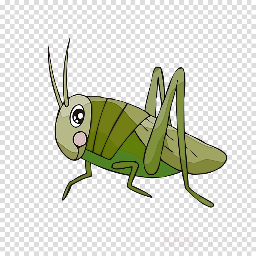 insect grasshopper cricket.