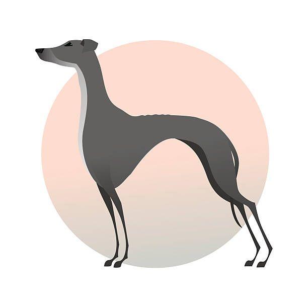 Standing greyhound isolated on background. Stylized image dog.