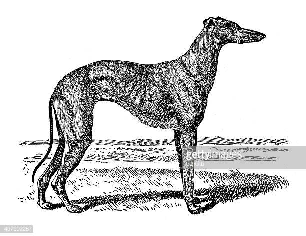 30 Top Greyhound Stock Illustrations, Clip art, Cartoons, & Icons.