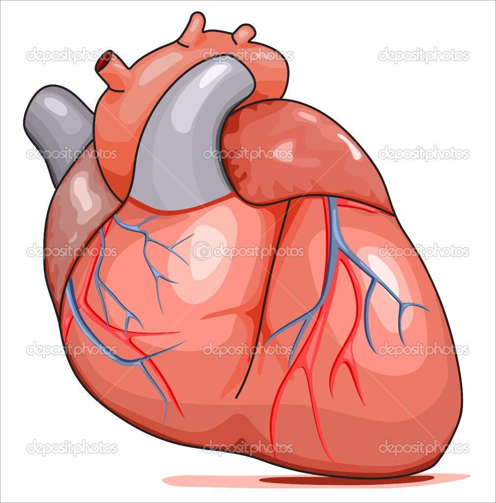 Cartoon Human Heart Clip Art.