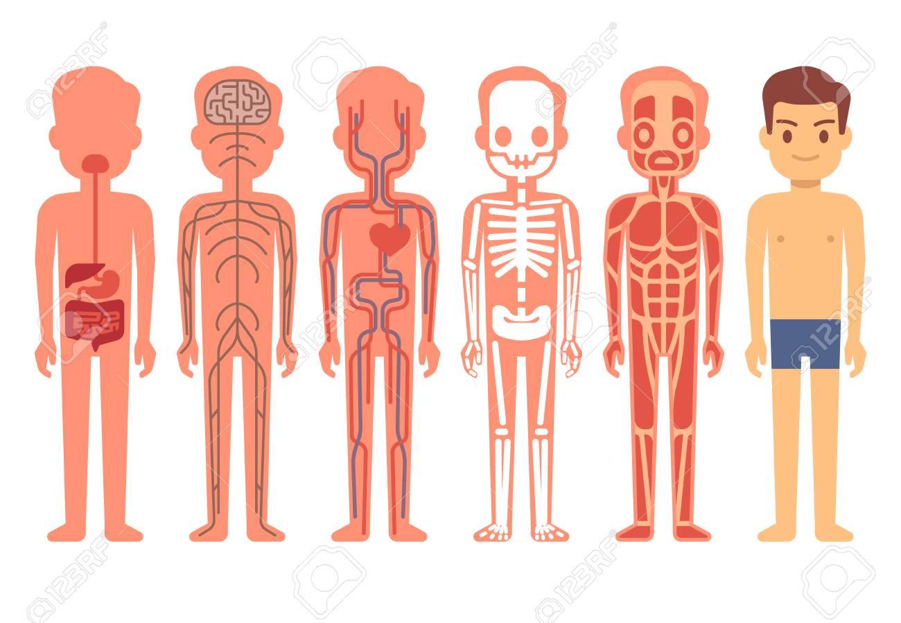 Human body anatomy vector. Male skeleton, muscular, circulatory,...