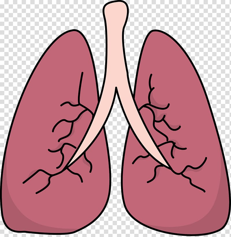 Lung , Small Lungs transparent background PNG clipart.