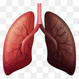 Cartoon clipart lung, Cartoon lung Transparent FREE for.
