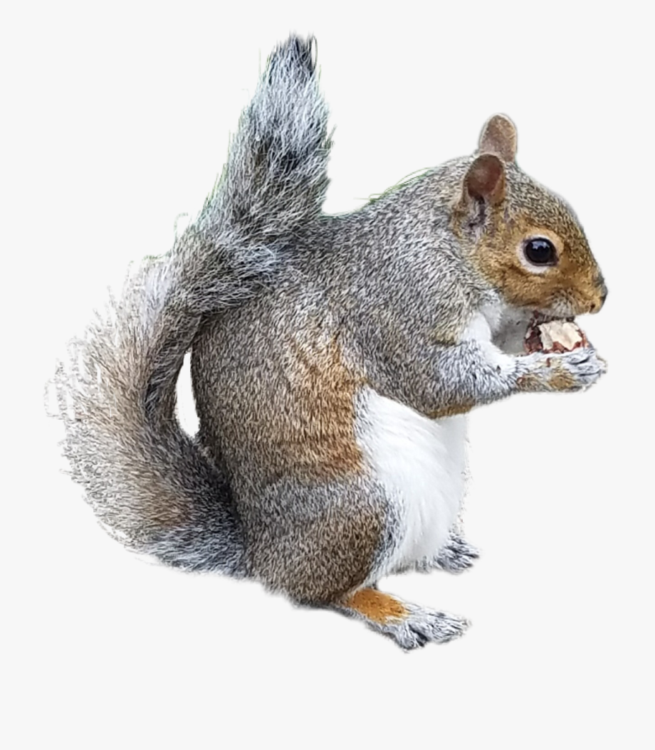 Gray Squirrel Clipart Xerus.