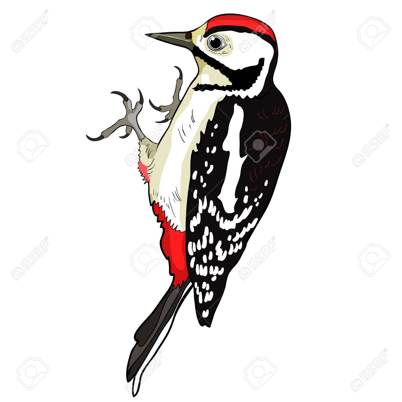 the great spotted woodpecker young vector illustration.