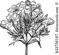Caryophyllaceae Clip Art EPS Images. 17 caryophyllaceae clipart.
