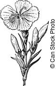 Caryophyllaceae Vector Clipart EPS Images. 16 Caryophyllaceae clip.