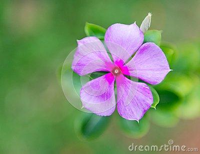 Viscaria Flower Stock Photo.