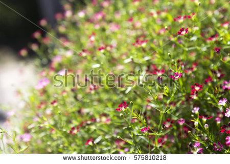 Caryophyllaceae Stock Photos, Royalty.