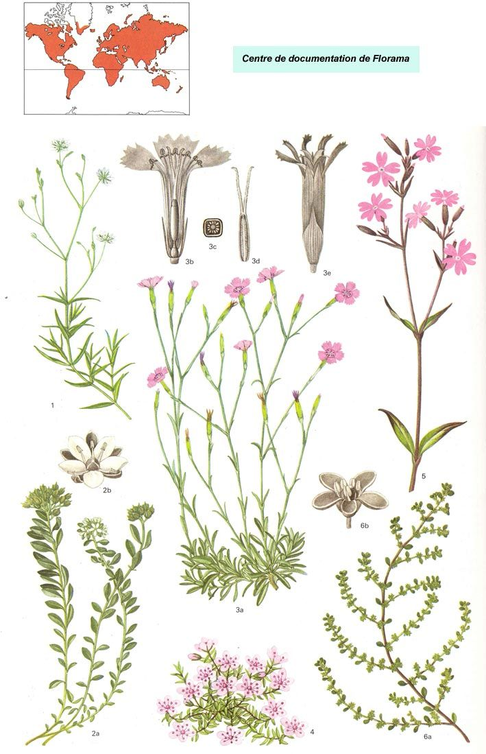 1000+ images about CARYOFHILLACEAE on Pinterest.