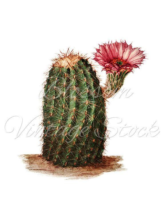 Cactus Botanical Image PNG Clipart, Cacti Digital Image, Vintage.