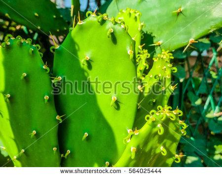 Caryophyllales Stock Photos, Royalty.