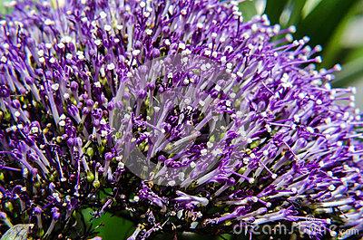 Violet Caryopteris Flower, Clandonensis Heavenly Blue Deep Blue.