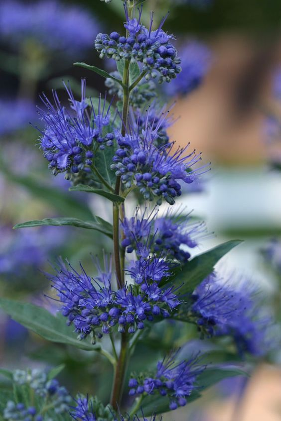 Caryopteris 'Dark Knight': Key feature: Fragrant Plant type: Shrub.