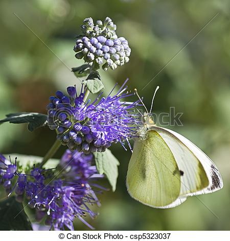 Picture of Butterfly Large white on Caryopteris or Bluebeard.