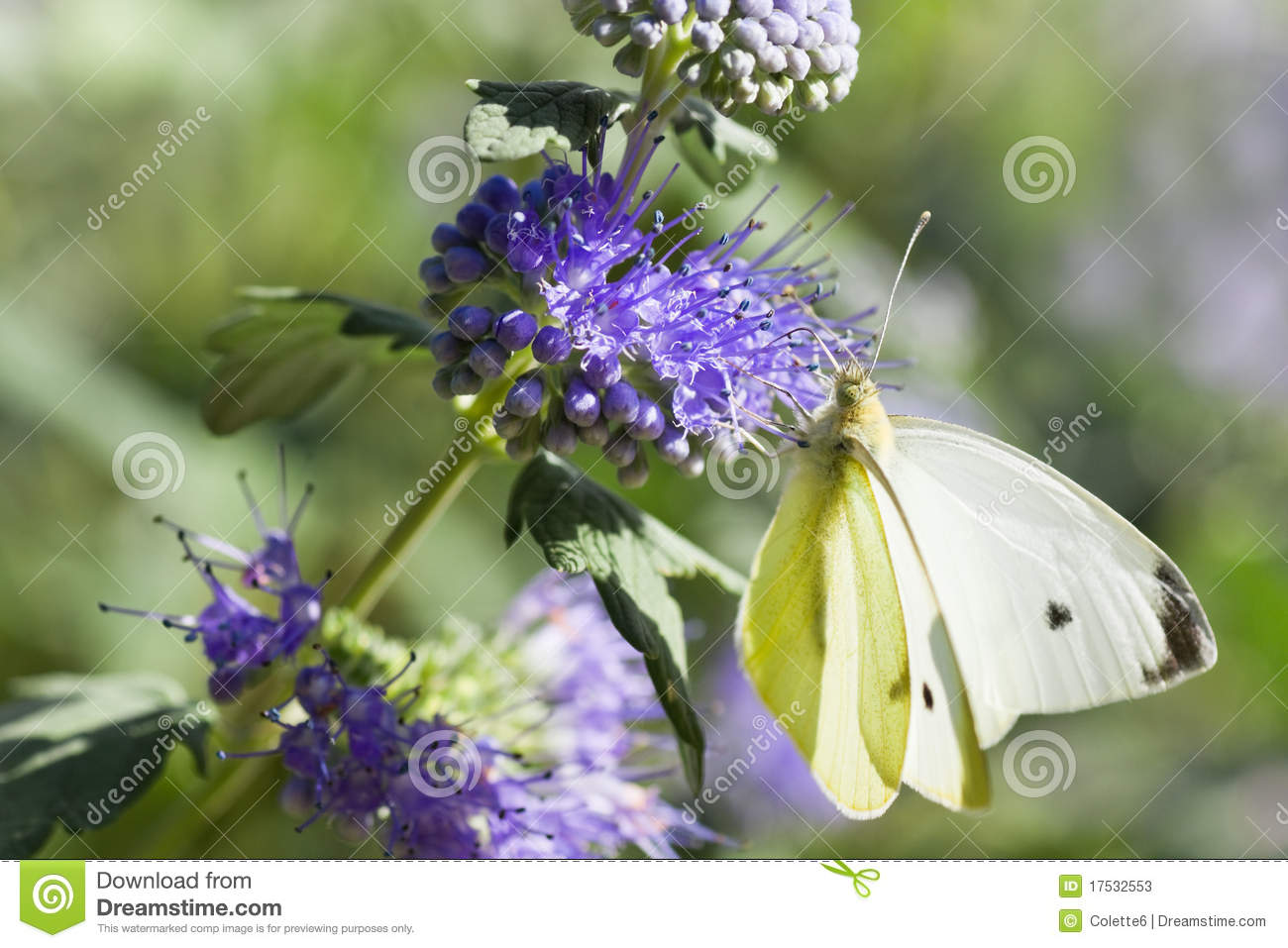 Butterfly Large White On Caryopteris Or Bluebeard Stock Photos.
