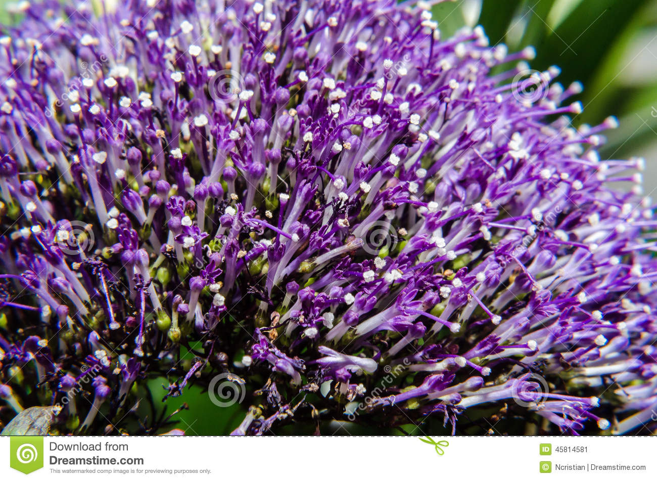 Detail Of Violet Caryopteris Flower, Clandonensis Heavenly Blue.